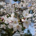 🌸🌸🌸お花見サイクリング(●´ω`●)🌸🌸🌸